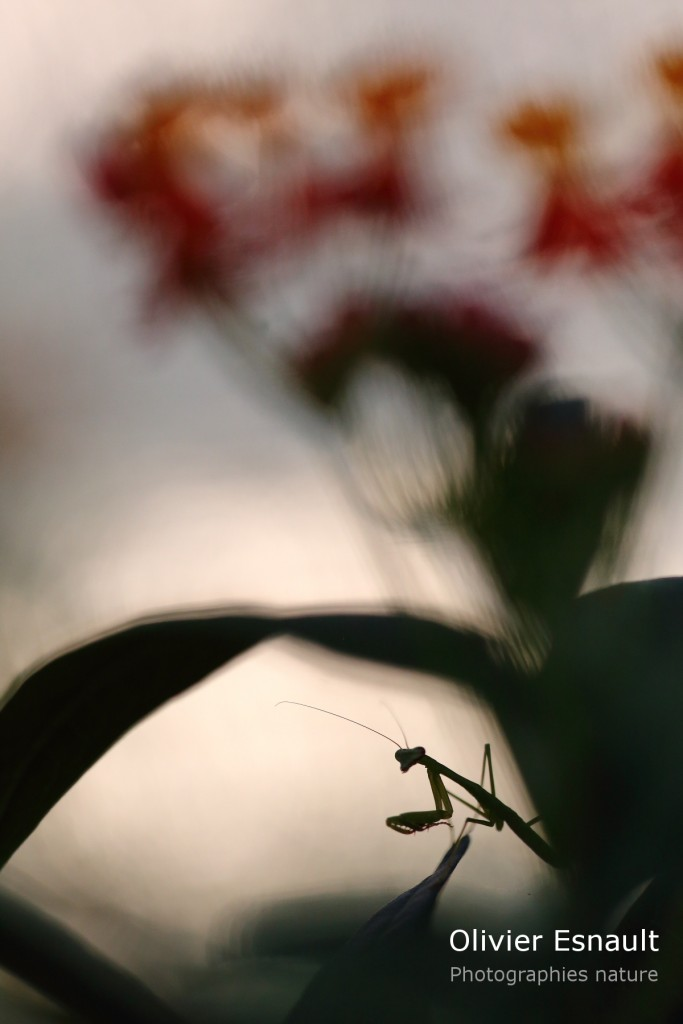 Polyspilota aeruginosa sur Asclepias curassavica