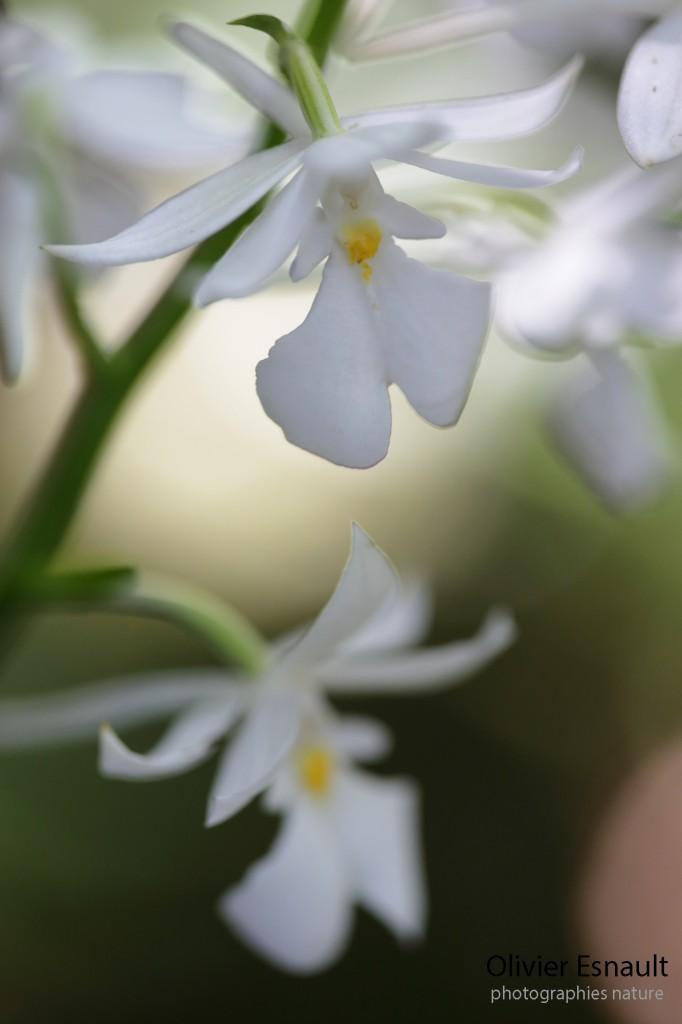 "Calanthe sylvatica ""Blanc"""