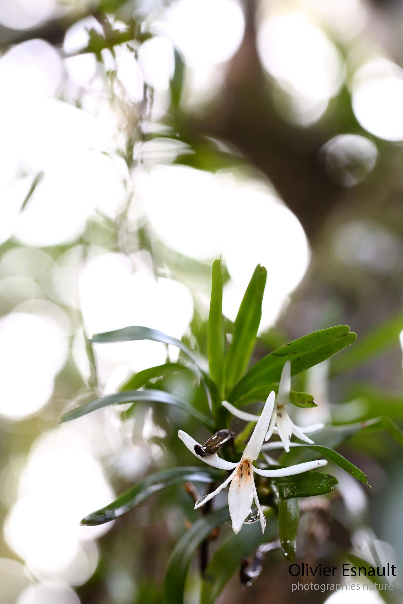 Olivier esnault blancheur des hauts - Maladie de l olivier mousse blanche ...