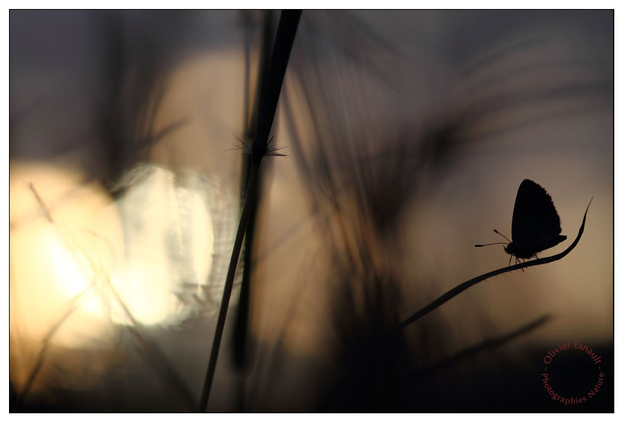 lycaenidae lycénidés papillon soleil couchant