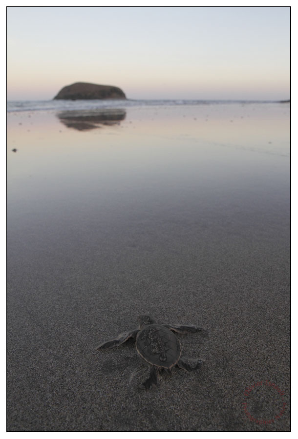 Jeune tortue verte prête à affronter son destinMohéli, septembre 2012