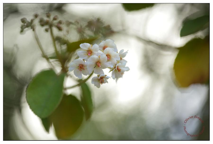 Fleur de petit Mahot
