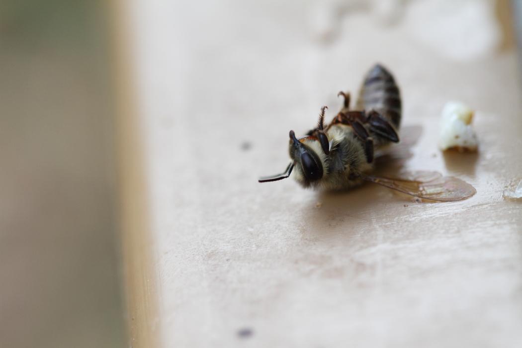 Voilà, une abeille morte
