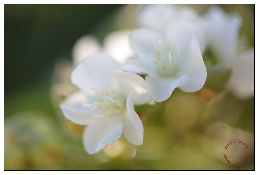 Evanescence de Dombeya acutangula