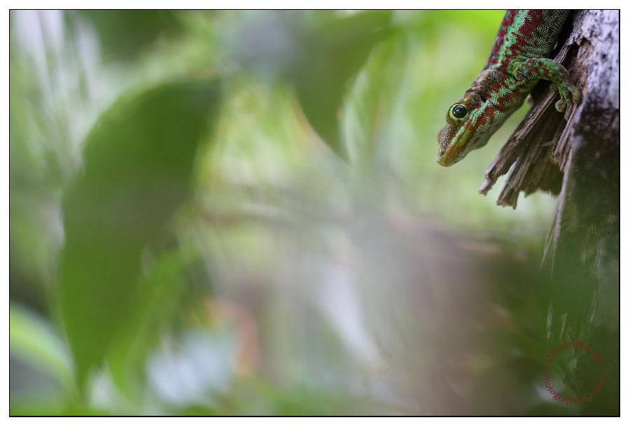 Phelsuma borbonica borbonica sur son piédestal