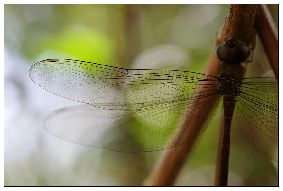 Aile antérieure droite de Gynacantha bispina