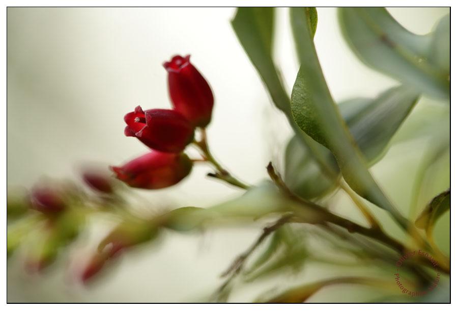 Agauria salicifolia, bouquet de trois fleurs