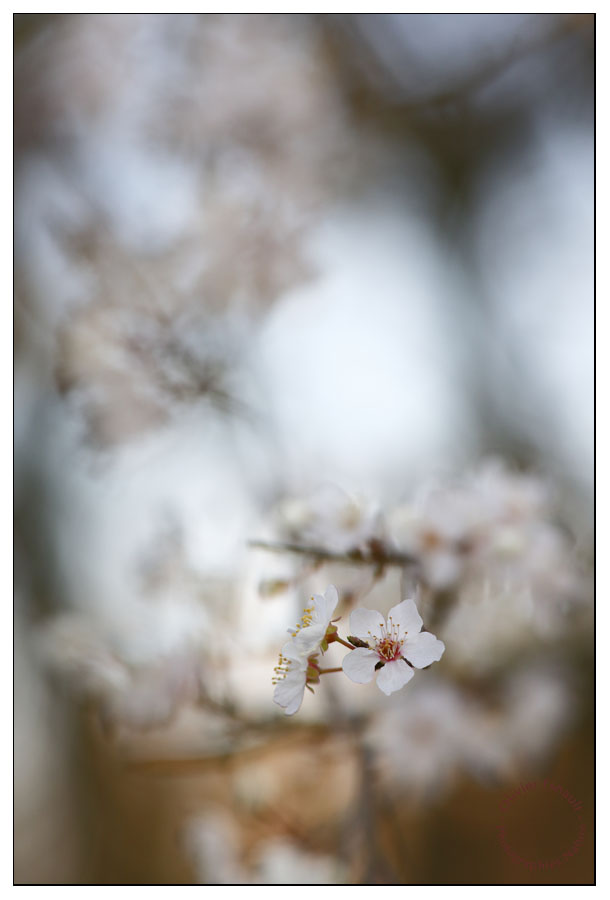 Prunus vertical