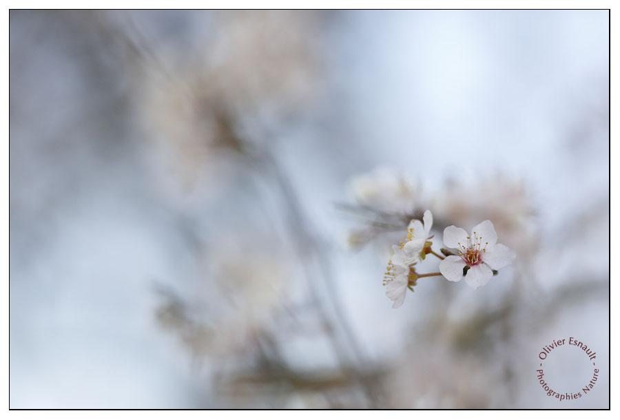 Prunus horizontal