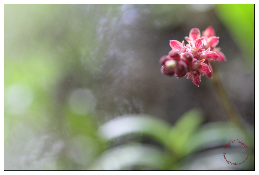 Bulbophyllum pendulum